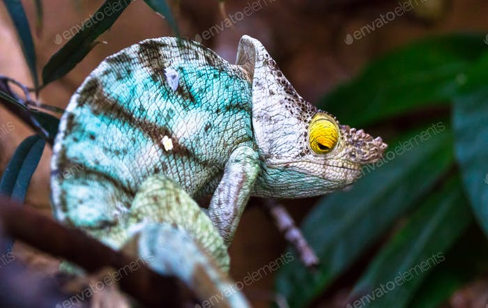 Parson's Chameleon in a Tree