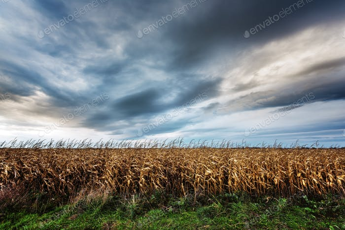 Beängstigendes Maisfeld bei düstem Wetter
