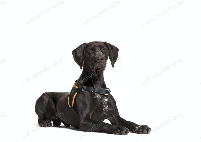 Lying down German Pointer dog, isolated on white