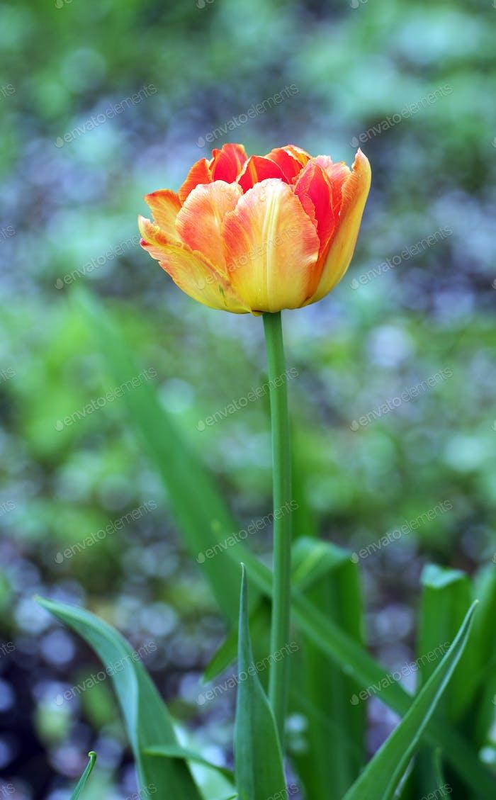 Spring red tulip