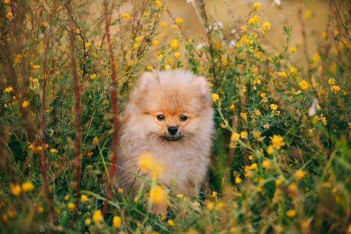 Young Happy White Puppy Pomeranian Spitz Puppy Dog Sitting Outdo