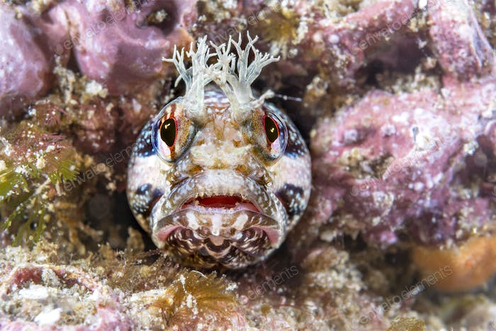 Close up of yellowfin fringehead blenny
