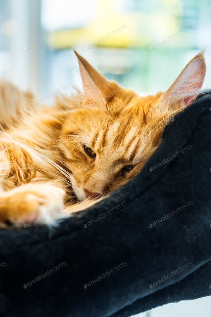 Giant Ginger Maine Coone Cat