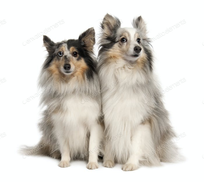 Couple of two shelties
