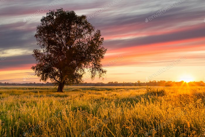 Lonely tree in a field at sunset. Beautiful summer landscape