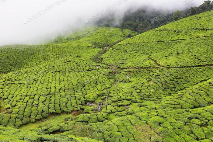 Kolukkumalai Tea plantations in a foggy day in Munnar, Kerala, India