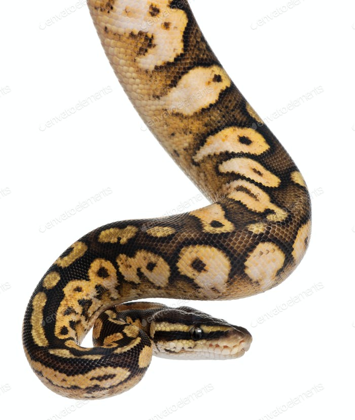 Male Pastel calico Python