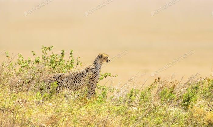 Afrikanischer Gepard auf einem Hügel in Serengeti