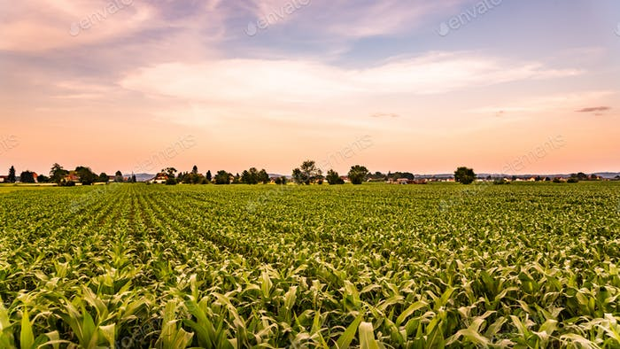 Corn field in sunset - maize
