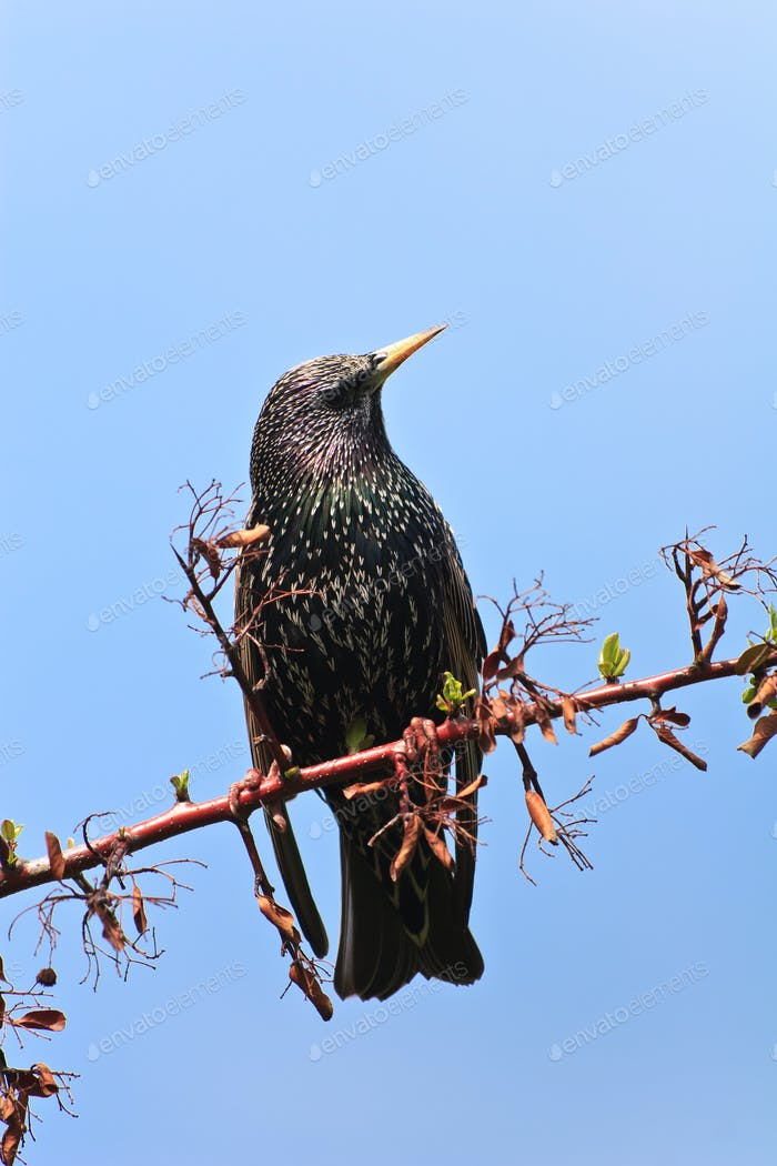 starling bird (sturnus vulgaris)