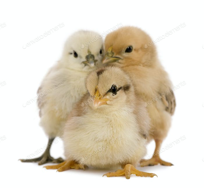 Three chicks in front of white background