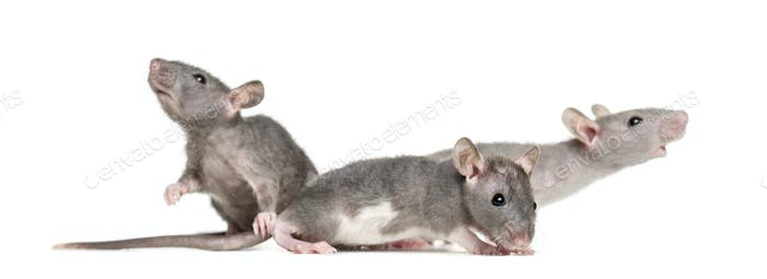 Three Young Hairless rats, isolated on white