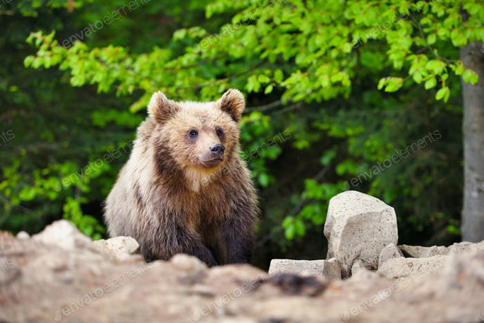Cute little brown bear cub on the edge of the forest