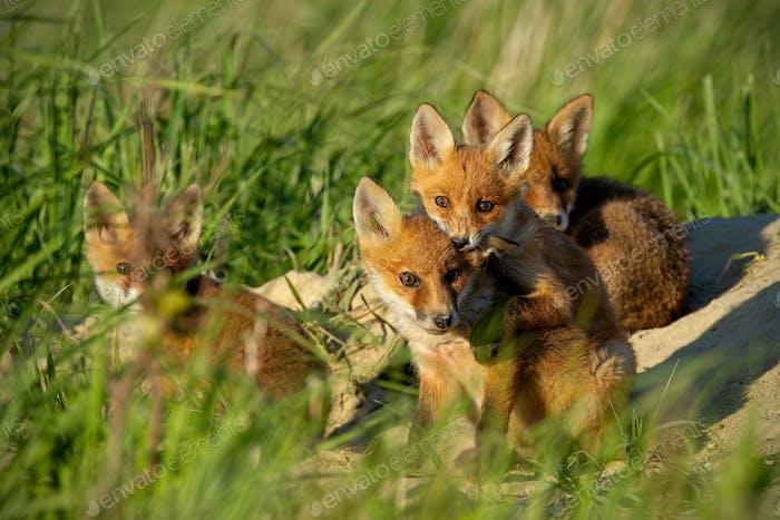 Roter Fuchs, Vulpes Vulpes, kleine junge Jungtiere in der Nähe der Höhle neugierig herumzuschauen