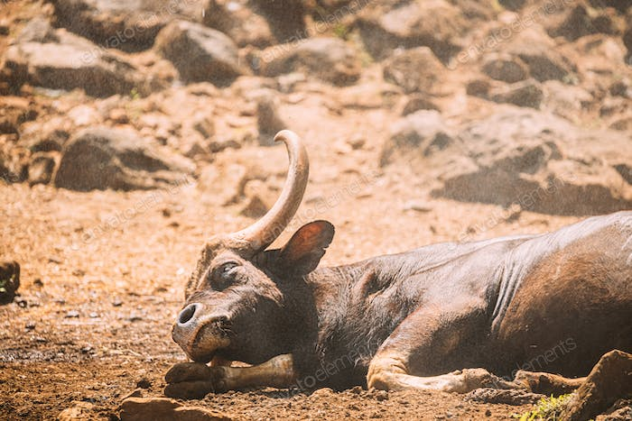 Goa, India. Gaur Bull, Bos Gaurus Or Indian Bison Resting On Ground. It Is The Largest Species Among