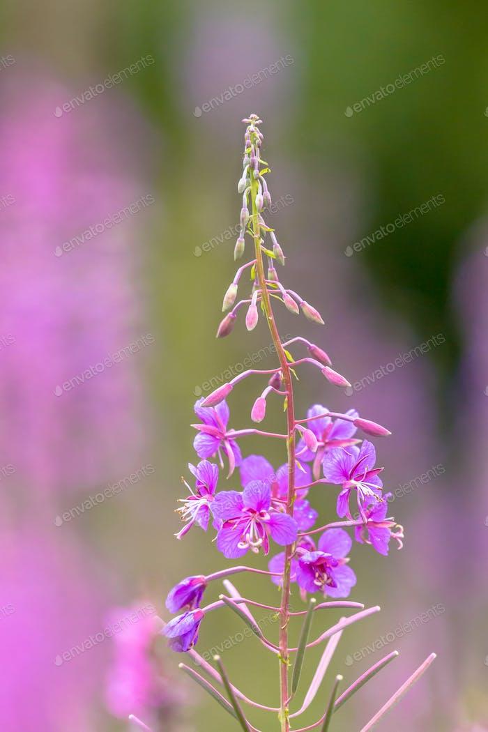 Flower of Rosebay Willowherb