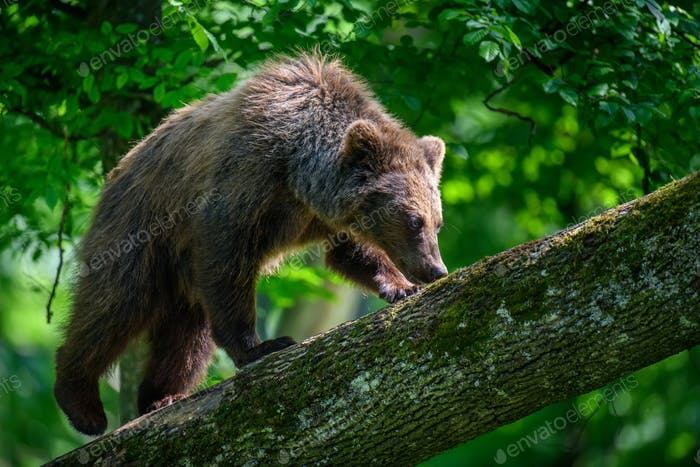Wild Brown Bear on tree in the summer forest. Animal in natural habitat. Wildlife scene
