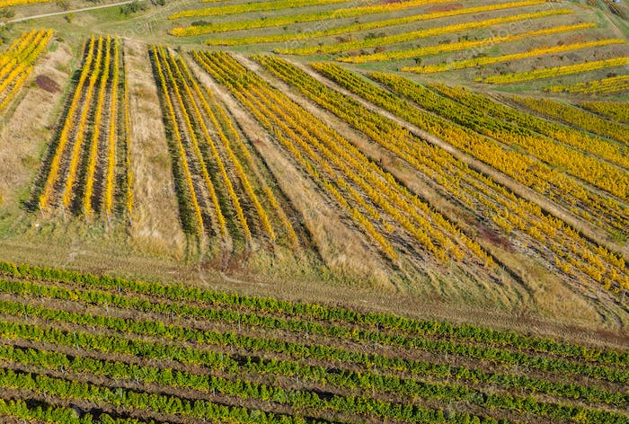 Aerial drone image of a vineyard in yellow, late afternoon lights
