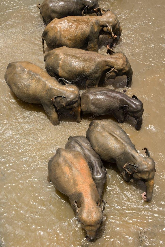 Group of Asian elephants crossing tropical river. Sri Lanka