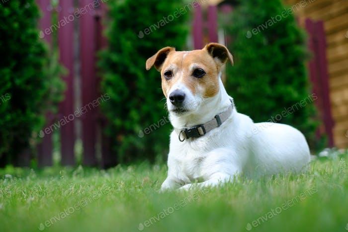 Jack russel terrier on lawn near house