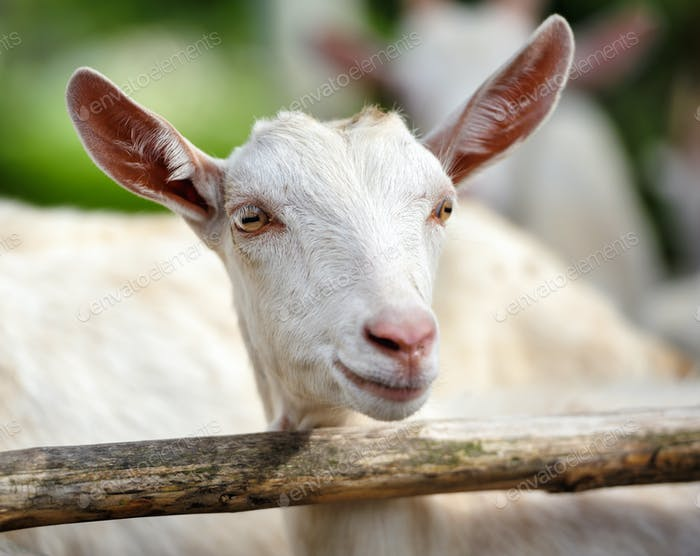 Portrait of a young goat standing in wooden paddock in the yard