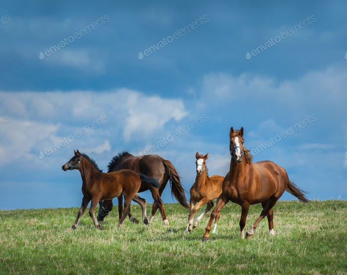 Herd of horses walks in field. Two mares with foals on pasture.