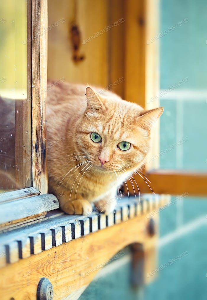orange cat in the window