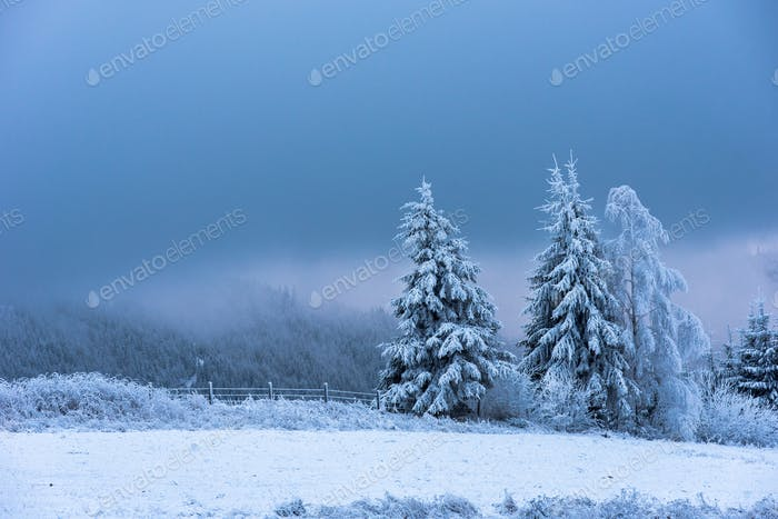 Winter concept. Fir trees covered by snow and hoarfrost