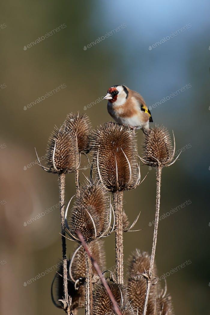 Goldfinken (Carduelis carduelis)