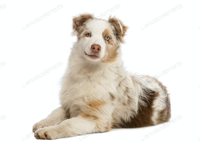 Australian Shepherd puppy lying, isolated on white