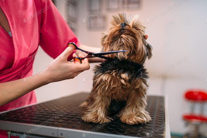 Pet groomer makes grooming dog