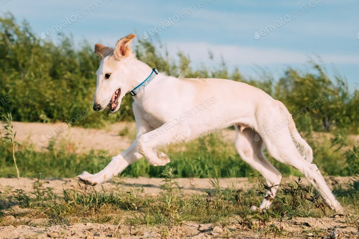 Running Puppy Of Russian Wolfhound Hunting Sighthound Russkaya P