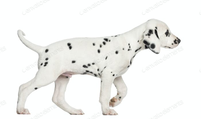 Side view of a Dalmatian puppy walking, isolated on white