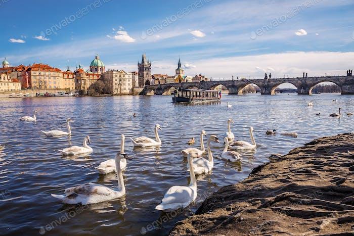 Swans on Vltava river