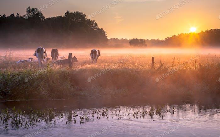 Kühe auf dem Feld im frühen Morgennebel