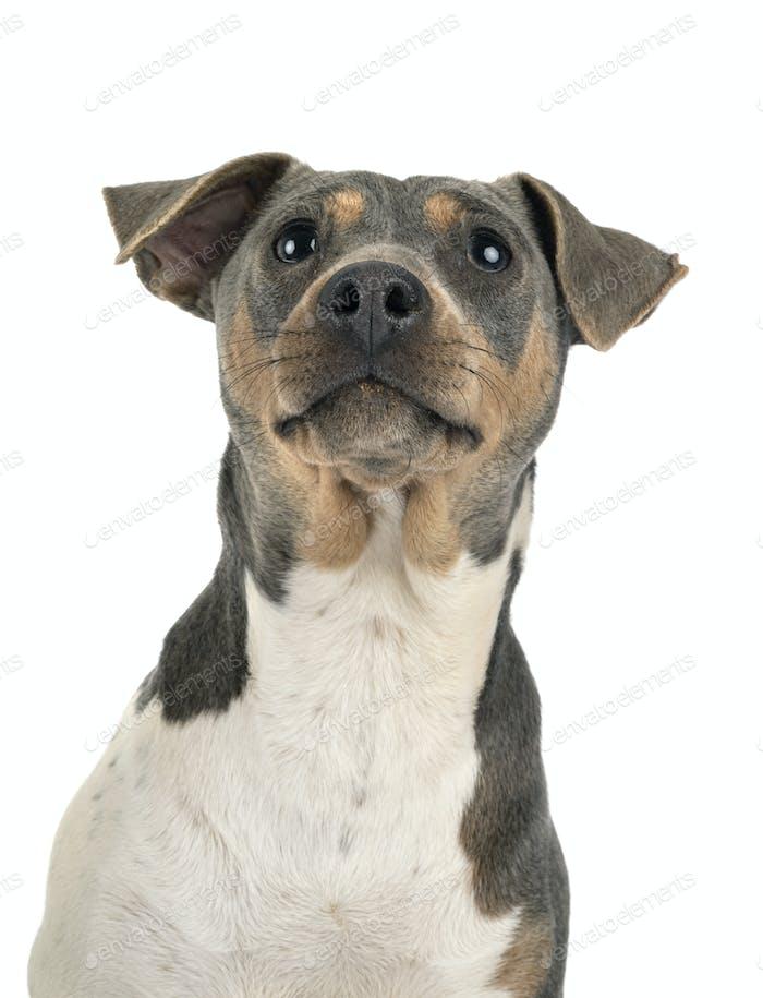 brazilian terrier in studio