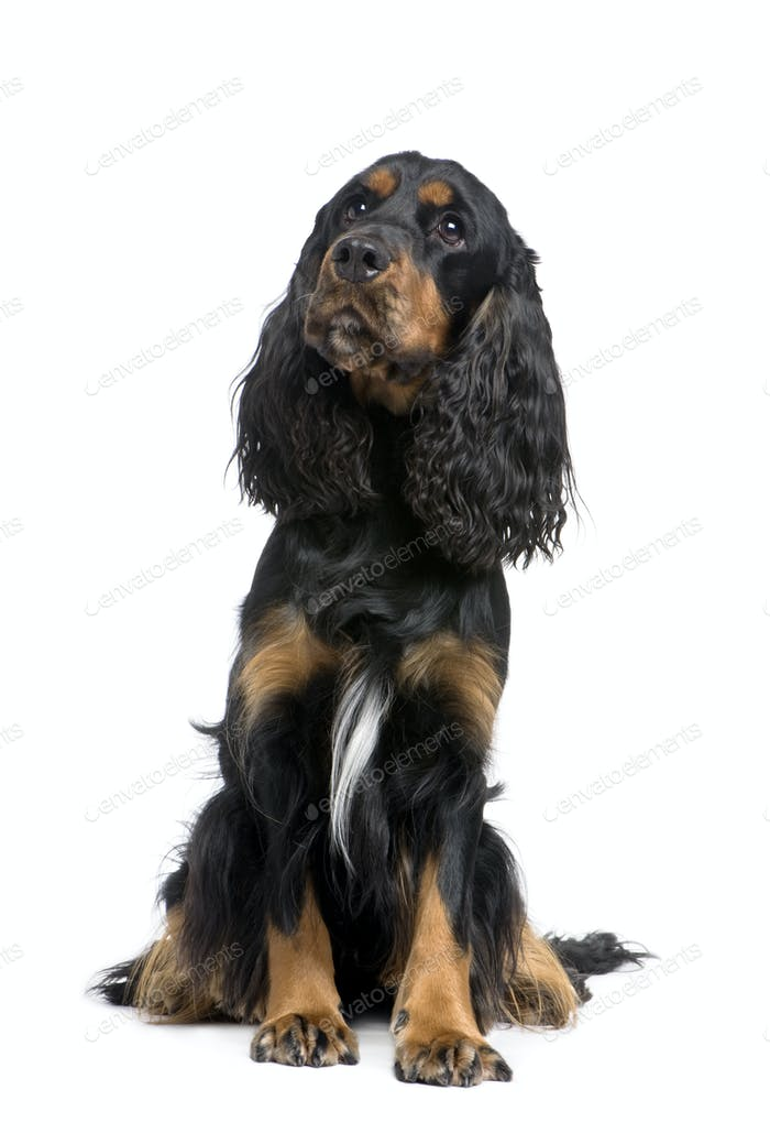 Cocker Spaniel (2 years)