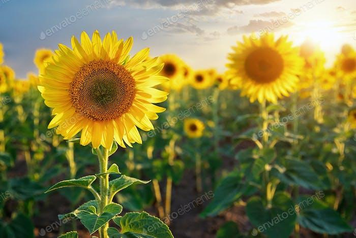 Thumbnail for Sunflower portrait.