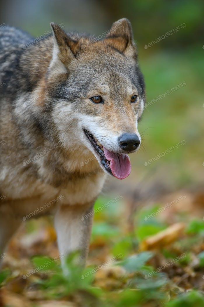 Close up portrait wolf in autumn forest background