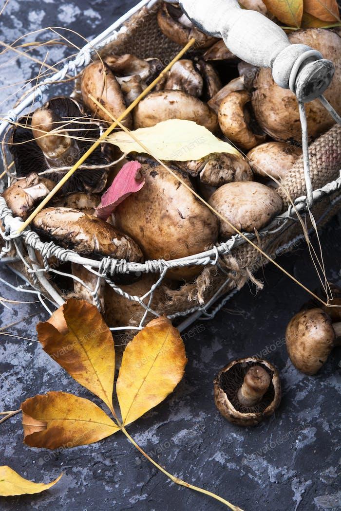 forest autumn mushrooms