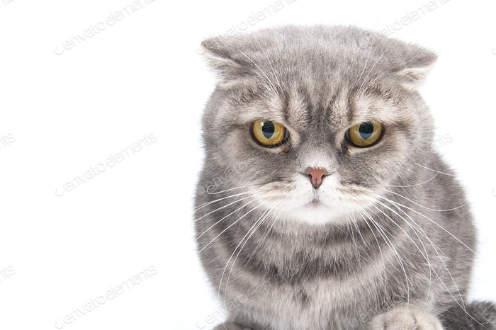 Portrait of a gloomy cat. Breed Scottish Fold.