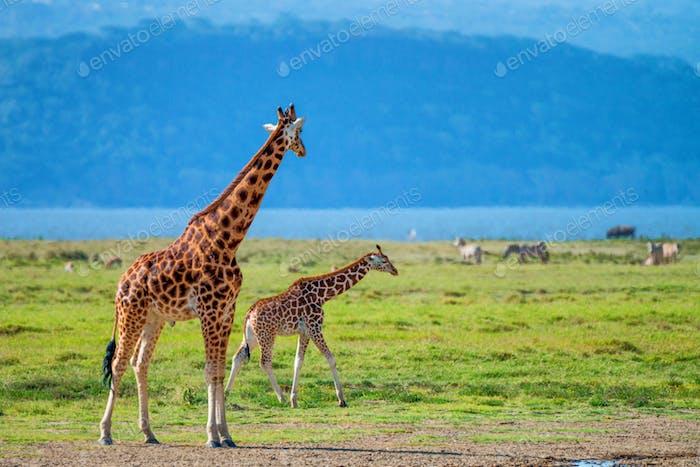 Wilde ugandische Giraffe in Savanne