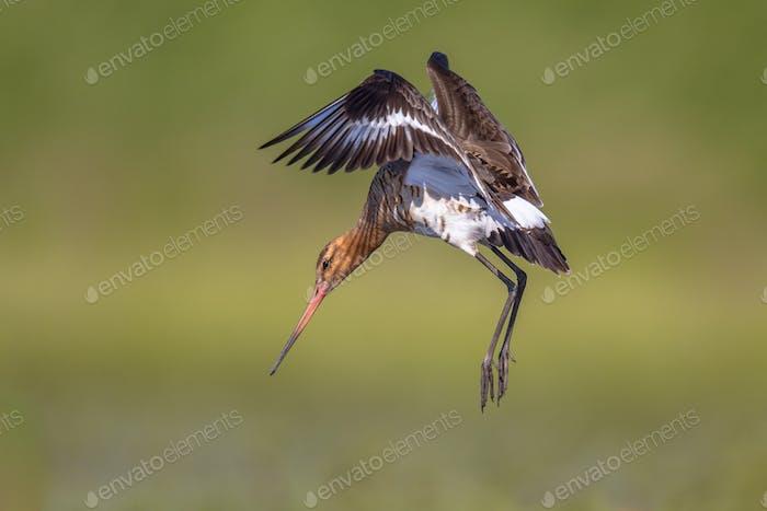 Black-tailed Godwit wader bird preparing to land