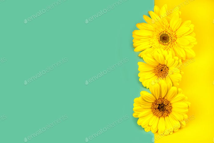 Yellow flowers gerberas on a mint blue and yellow background