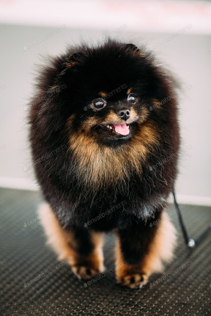 Black Smiling Pommeranian Spitz Small Dog