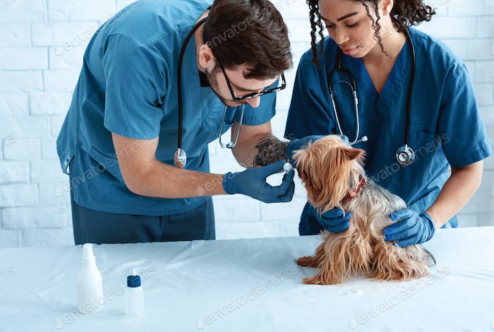 Veterinary doctors with ear drops and cute little doggy at animal clinic