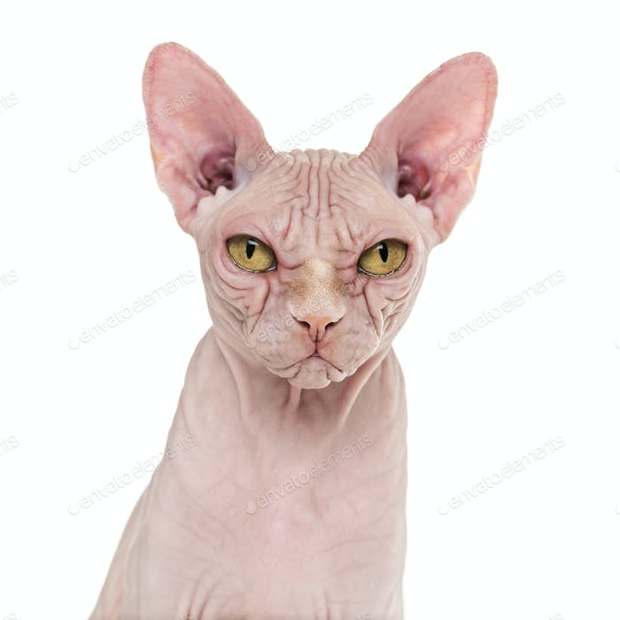 Sphynx Hairless Cat, 4 years old, against white background