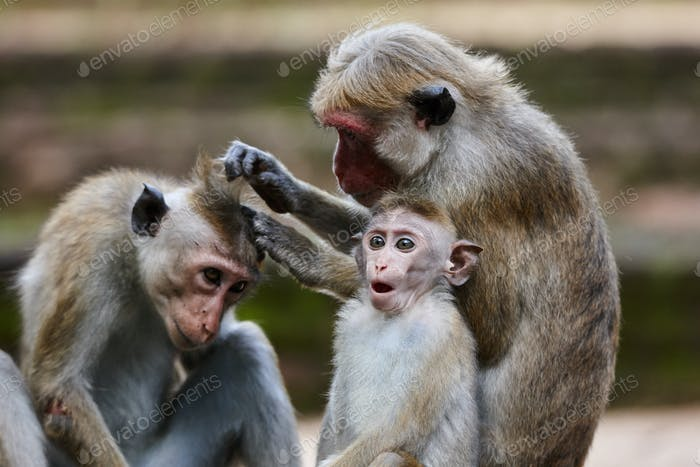 Toque macaque monkeys