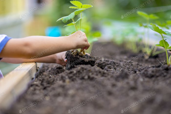Child planting strawberry seedling in to a fertile soil