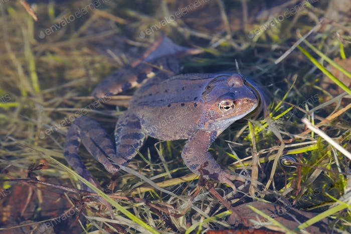 European common frog (Rana temporaria)